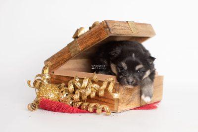 puppy241 week3 BowTiePomsky.com Bowtie Pomsky Puppy For Sale Husky Pomeranian Mini Dog Spokane WA Breeder Blue Eyes Pomskies Celebrity Puppy web3