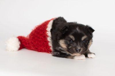 puppy241 week3 BowTiePomsky.com Bowtie Pomsky Puppy For Sale Husky Pomeranian Mini Dog Spokane WA Breeder Blue Eyes Pomskies Celebrity Puppy web5