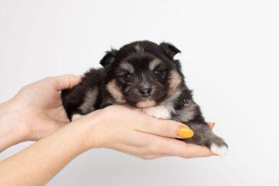 puppy241 week3 BowTiePomsky.com Bowtie Pomsky Puppy For Sale Husky Pomeranian Mini Dog Spokane WA Breeder Blue Eyes Pomskies Celebrity Puppy web7