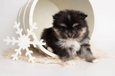 puppy241 week5 BowTiePomsky.com Bowtie Pomsky Puppy For Sale Husky Pomeranian Mini Dog Spokane WA Breeder Blue Eyes Pomskies Celebrity Puppy web1