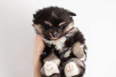 puppy241 week5 BowTiePomsky.com Bowtie Pomsky Puppy For Sale Husky Pomeranian Mini Dog Spokane WA Breeder Blue Eyes Pomskies Celebrity Puppy web7