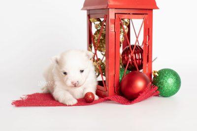puppy242 week3 BowTiePomsky.com Bowtie Pomsky Puppy For Sale Husky Pomeranian Mini Dog Spokane WA Breeder Blue Eyes Pomskies Celebrity Puppy web1