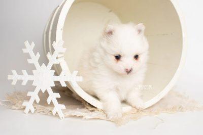 puppy242 week5 BowTiePomsky.com Bowtie Pomsky Puppy For Sale Husky Pomeranian Mini Dog Spokane WA Breeder Blue Eyes Pomskies Celebrity Puppy web1