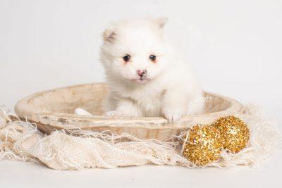 puppy242 week5 BowTiePomsky.com Bowtie Pomsky Puppy For Sale Husky Pomeranian Mini Dog Spokane WA Breeder Blue Eyes Pomskies Celebrity Puppy web2