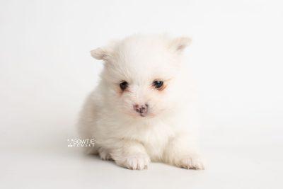 puppy242 week5 BowTiePomsky.com Bowtie Pomsky Puppy For Sale Husky Pomeranian Mini Dog Spokane WA Breeder Blue Eyes Pomskies Celebrity Puppy web6