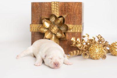 puppy244 week1 BowTiePomsky.com Bowtie Pomsky Puppy For Sale Husky Pomeranian Mini Dog Spokane WA Breeder Blue Eyes Pomskies Celebrity Puppy web1