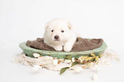 puppy244 week3 BowTiePomsky.com Bowtie Pomsky Puppy For Sale Husky Pomeranian Mini Dog Spokane WA Breeder Blue Eyes Pomskies Celebrity Puppy web1