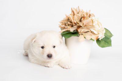 puppy244 week3 BowTiePomsky.com Bowtie Pomsky Puppy For Sale Husky Pomeranian Mini Dog Spokane WA Breeder Blue Eyes Pomskies Celebrity Puppy web3