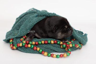 puppy245 week1 BowTiePomsky.com Bowtie Pomsky Puppy For Sale Husky Pomeranian Mini Dog Spokane WA Breeder Blue Eyes Pomskies Celebrity Puppy web2