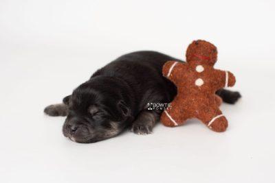 puppy245 week1 BowTiePomsky.com Bowtie Pomsky Puppy For Sale Husky Pomeranian Mini Dog Spokane WA Breeder Blue Eyes Pomskies Celebrity Puppy web3