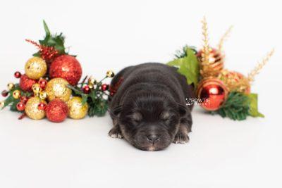 puppy245 week1 BowTiePomsky.com Bowtie Pomsky Puppy For Sale Husky Pomeranian Mini Dog Spokane WA Breeder Blue Eyes Pomskies Celebrity Puppy web4