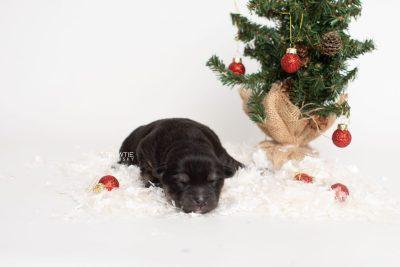 puppy245 week1 BowTiePomsky.com Bowtie Pomsky Puppy For Sale Husky Pomeranian Mini Dog Spokane WA Breeder Blue Eyes Pomskies Celebrity Puppy web5