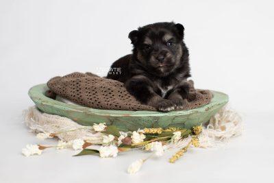 puppy245 week3 BowTiePomsky.com Bowtie Pomsky Puppy For Sale Husky Pomeranian Mini Dog Spokane WA Breeder Blue Eyes Pomskies Celebrity Puppy web1