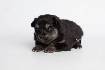 puppy245 week3 BowTiePomsky.com Bowtie Pomsky Puppy For Sale Husky Pomeranian Mini Dog Spokane WA Breeder Blue Eyes Pomskies Celebrity Puppy web4