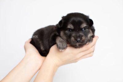 puppy245 week3 BowTiePomsky.com Bowtie Pomsky Puppy For Sale Husky Pomeranian Mini Dog Spokane WA Breeder Blue Eyes Pomskies Celebrity Puppy web7