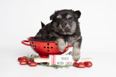 puppy245 week5 BowTiePomsky.com Bowtie Pomsky Puppy For Sale Husky Pomeranian Mini Dog Spokane WA Breeder Blue Eyes Pomskies Celebrity Puppy web1