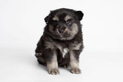 puppy245 week5 BowTiePomsky.com Bowtie Pomsky Puppy For Sale Husky Pomeranian Mini Dog Spokane WA Breeder Blue Eyes Pomskies Celebrity Puppy web5