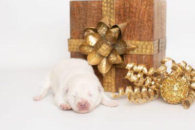 puppy246 week1 BowTiePomsky.com Bowtie Pomsky Puppy For Sale Husky Pomeranian Mini Dog Spokane WA Breeder Blue Eyes Pomskies Celebrity Puppy web1