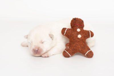 puppy246 week1 BowTiePomsky.com Bowtie Pomsky Puppy For Sale Husky Pomeranian Mini Dog Spokane WA Breeder Blue Eyes Pomskies Celebrity Puppy web3
