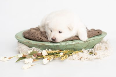 puppy246 week3 BowTiePomsky.com Bowtie Pomsky Puppy For Sale Husky Pomeranian Mini Dog Spokane WA Breeder Blue Eyes Pomskies Celebrity Puppy web1
