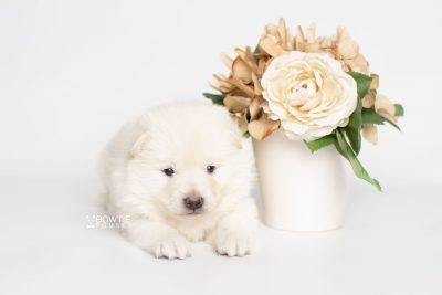 puppy246 week3 BowTiePomsky.com Bowtie Pomsky Puppy For Sale Husky Pomeranian Mini Dog Spokane WA Breeder Blue Eyes Pomskies Celebrity Puppy web2