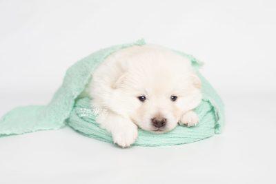 puppy246 week3 BowTiePomsky.com Bowtie Pomsky Puppy For Sale Husky Pomeranian Mini Dog Spokane WA Breeder Blue Eyes Pomskies Celebrity Puppy web6