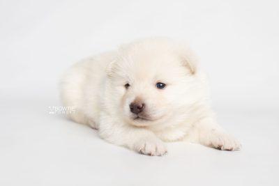puppy246 week3 BowTiePomsky.com Bowtie Pomsky Puppy For Sale Husky Pomeranian Mini Dog Spokane WA Breeder Blue Eyes Pomskies Celebrity Puppy web7