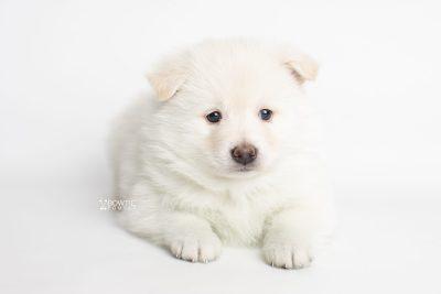 puppy246 week5 BowTiePomsky.com Bowtie Pomsky Puppy For Sale Husky Pomeranian Mini Dog Spokane WA Breeder Blue Eyes Pomskies Celebrity Puppy web3