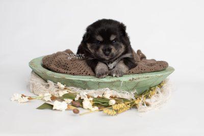 puppy247 week3 BowTiePomsky.com Bowtie Pomsky Puppy For Sale Husky Pomeranian Mini Dog Spokane WA Breeder Blue Eyes Pomskies Celebrity Puppy web1