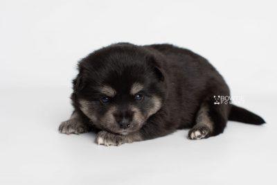 puppy247 week3 BowTiePomsky.com Bowtie Pomsky Puppy For Sale Husky Pomeranian Mini Dog Spokane WA Breeder Blue Eyes Pomskies Celebrity Puppy web6