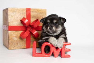 puppy247 week5 BowTiePomsky.com Bowtie Pomsky Puppy For Sale Husky Pomeranian Mini Dog Spokane WA Breeder Blue Eyes Pomskies Celebrity Puppy web3