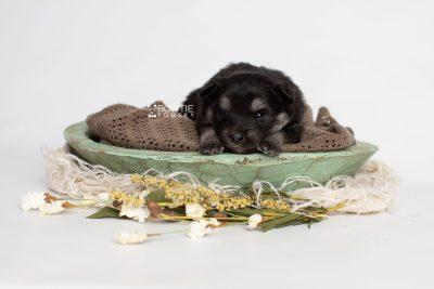 puppy249 week3 BowTiePomsky.com Bowtie Pomsky Puppy For Sale Husky Pomeranian Mini Dog Spokane WA Breeder Blue Eyes Pomskies Celebrity Puppy web1
