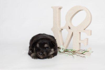 puppy249 week3 BowTiePomsky.com Bowtie Pomsky Puppy For Sale Husky Pomeranian Mini Dog Spokane WA Breeder Blue Eyes Pomskies Celebrity Puppy web2