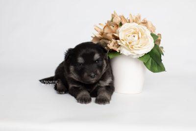 puppy249 week3 BowTiePomsky.com Bowtie Pomsky Puppy For Sale Husky Pomeranian Mini Dog Spokane WA Breeder Blue Eyes Pomskies Celebrity Puppy web3