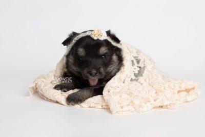 puppy249 week3 BowTiePomsky.com Bowtie Pomsky Puppy For Sale Husky Pomeranian Mini Dog Spokane WA Breeder Blue Eyes Pomskies Celebrity Puppy web6