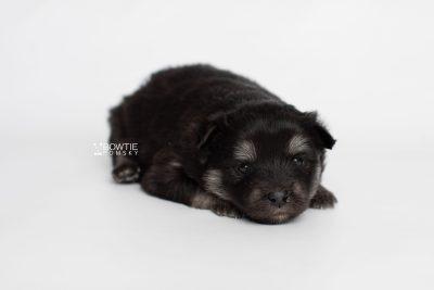 puppy249 week3 BowTiePomsky.com Bowtie Pomsky Puppy For Sale Husky Pomeranian Mini Dog Spokane WA Breeder Blue Eyes Pomskies Celebrity Puppy web7