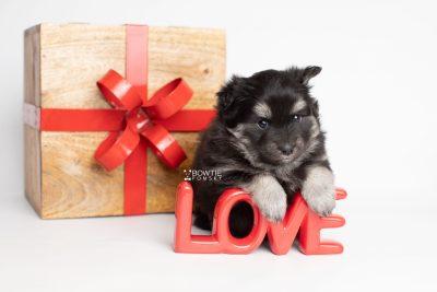 puppy249 week5 BowTiePomsky.com Bowtie Pomsky Puppy For Sale Husky Pomeranian Mini Dog Spokane WA Breeder Blue Eyes Pomskies Celebrity Puppy web4