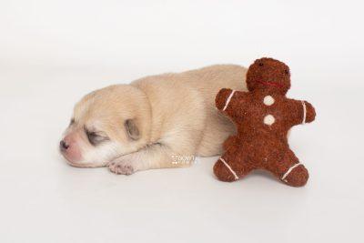 puppy250 week1 BowTiePomsky.com Bowtie Pomsky Puppy For Sale Husky Pomeranian Mini Dog Spokane WA Breeder Blue Eyes Pomskies Celebrity Puppy web3