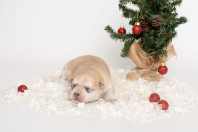 puppy250 week1 BowTiePomsky.com Bowtie Pomsky Puppy For Sale Husky Pomeranian Mini Dog Spokane WA Breeder Blue Eyes Pomskies Celebrity Puppy web8