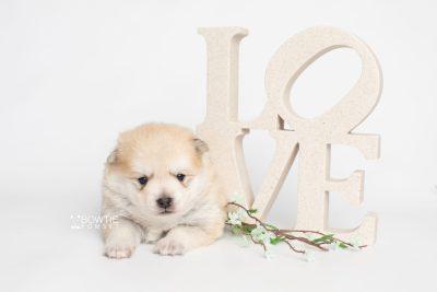 puppy250 week3 BowTiePomsky.com Bowtie Pomsky Puppy For Sale Husky Pomeranian Mini Dog Spokane WA Breeder Blue Eyes Pomskies Celebrity Puppy web3