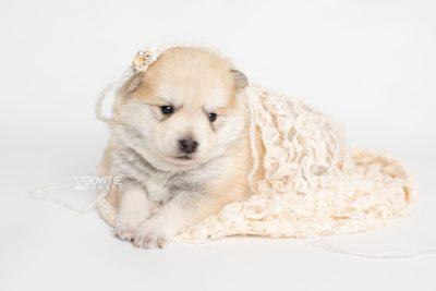 puppy250 week3 BowTiePomsky.com Bowtie Pomsky Puppy For Sale Husky Pomeranian Mini Dog Spokane WA Breeder Blue Eyes Pomskies Celebrity Puppy web5