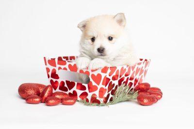 puppy250 week5 BowTiePomsky.com Bowtie Pomsky Puppy For Sale Husky Pomeranian Mini Dog Spokane WA Breeder Blue Eyes Pomskies Celebrity Puppy web2