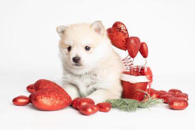 puppy250 week5 BowTiePomsky.com Bowtie Pomsky Puppy For Sale Husky Pomeranian Mini Dog Spokane WA Breeder Blue Eyes Pomskies Celebrity Puppy web3