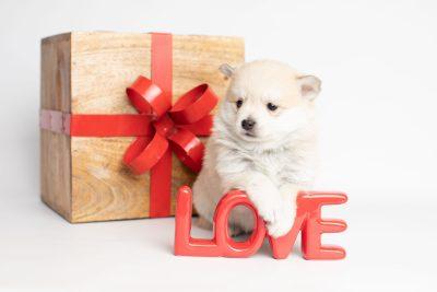 puppy250 week5 BowTiePomsky.com Bowtie Pomsky Puppy For Sale Husky Pomeranian Mini Dog Spokane WA Breeder Blue Eyes Pomskies Celebrity Puppy web4