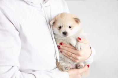 puppy250 week5 BowTiePomsky.com Bowtie Pomsky Puppy For Sale Husky Pomeranian Mini Dog Spokane WA Breeder Blue Eyes Pomskies Celebrity Puppy web8