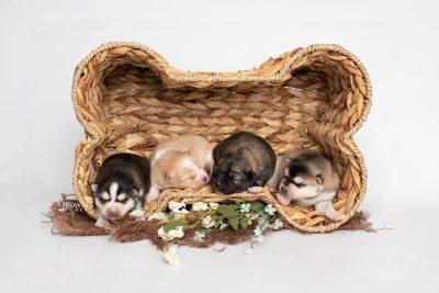 puppy252-255 week1 BowTiePomsky.com Bowtie Pomsky Puppy For Sale Husky Pomeranian Mini Dog Spokane WA Breeder Blue Eyes Pomskies Celebrity Puppy web