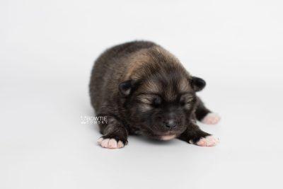 puppy253 week1 BowTiePomsky.com Bowtie Pomsky Puppy For Sale Husky Pomeranian Mini Dog Spokane WA Breeder Blue Eyes Pomskies Celebrity Puppy web7