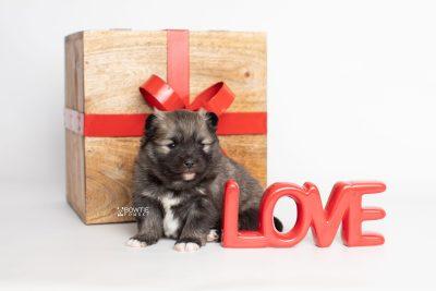 puppy253 week3 BowTiePomsky.com Bowtie Pomsky Puppy For Sale Husky Pomeranian Mini Dog Spokane WA Breeder Blue Eyes Pomskies Celebrity Puppy web4