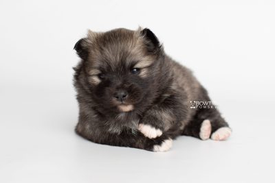 puppy253 week3 BowTiePomsky.com Bowtie Pomsky Puppy For Sale Husky Pomeranian Mini Dog Spokane WA Breeder Blue Eyes Pomskies Celebrity Puppy web6