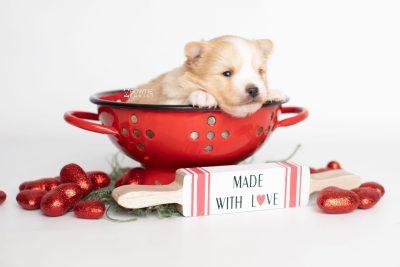 puppy254 week3 BowTiePomsky.com Bowtie Pomsky Puppy For Sale Husky Pomeranian Mini Dog Spokane WA Breeder Blue Eyes Pomskies Celebrity Puppy web1